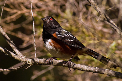 Spotted Towhee watching out for Coopers Hawk
