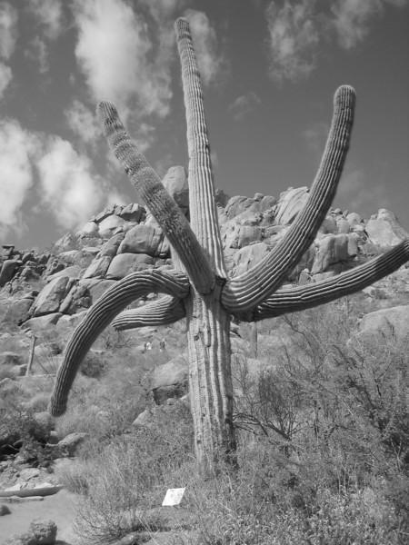 Pinnacle Peak 9-22-10 BW Cactus