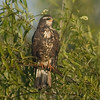 Female Snail Kite