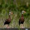 A pair of Black-bellied Whistling-duck