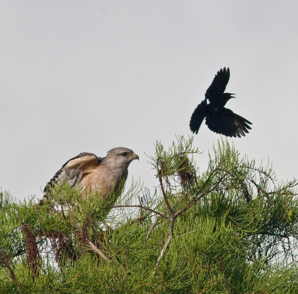Red-shouldered Hawk being attacted by a black bird