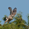 Red-shouldered Hawk - Ready for flight