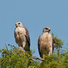 A pair of of Red-shouldered Hawk