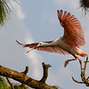 Roseate Spoonbill Ready For Take-off