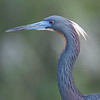 Tricolored heron with its Breeding Markings