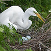 Great Egret in its Nest