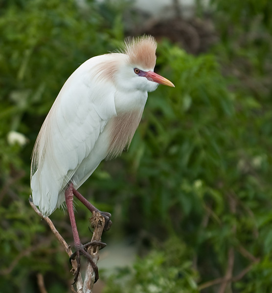 Cattle Egret with its Breeding Markings