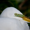 Great Egret with Its Breeding Markings