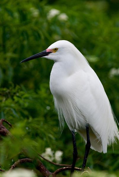 Snowy Egret that breeding markings