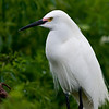 Snowy Egret that breeding markings