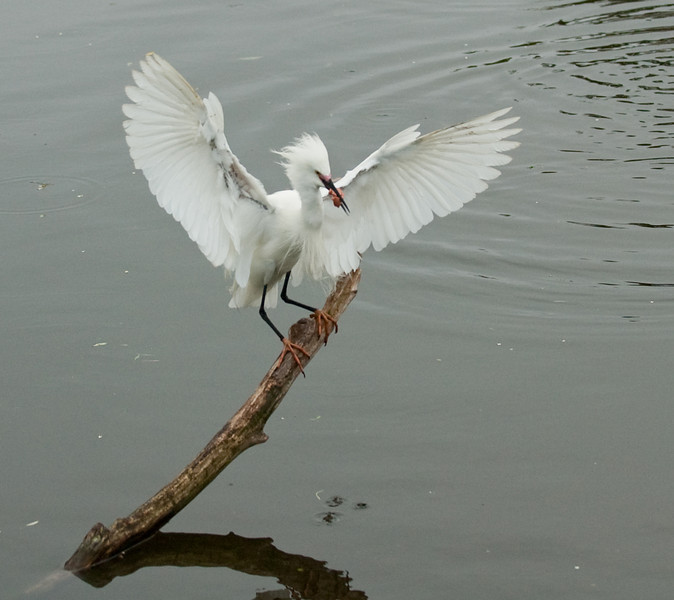 Snowy Egret just landed with its morning breakfast