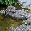 Alligator Love-In