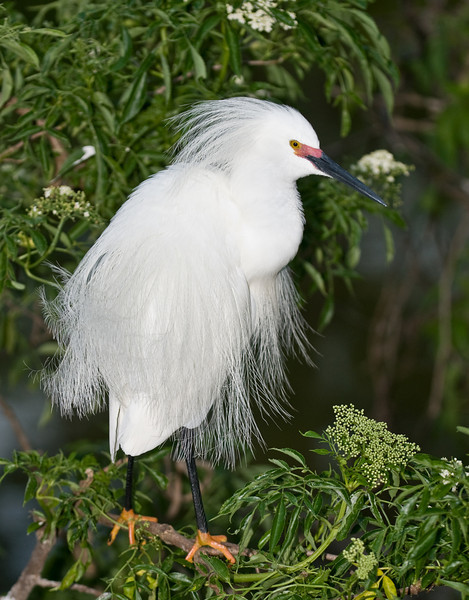 Snowy Egret with its breeding markings