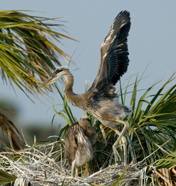 Great Blue Heron Nest - Just stretching my wings