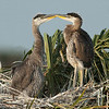 Great Blue Heron Nest - Beak to Beak