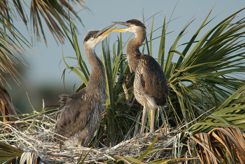 Great Blue Heron Nest - Listen up!