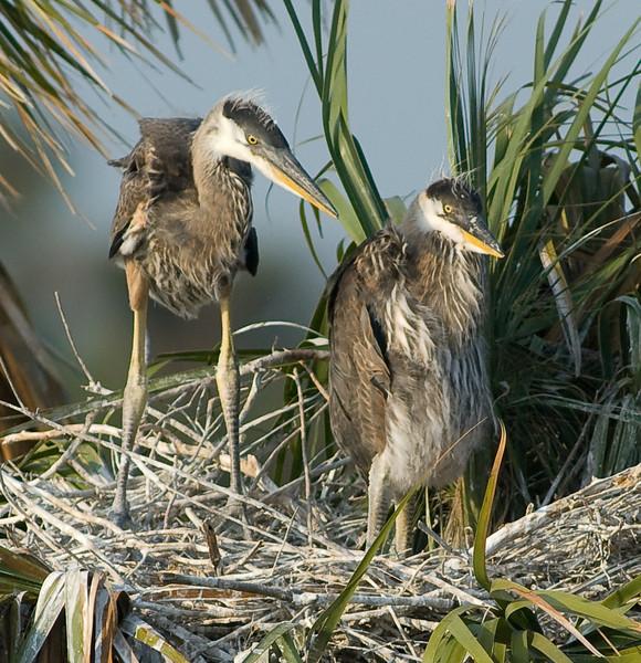 Great Blue Heron Nest - Eyes forward