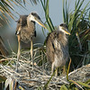 Great Blue Heron Nest - Eyes forward