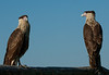 Juvenile Crested Caracara - These photos were taken approx. 10 feet away from the Caracara