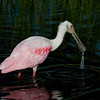 Roseate Spoonbill -  Dripping Water