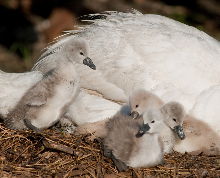 Mute Swan - Chicks in the nest