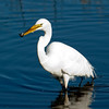 Great White Egret with its catch
