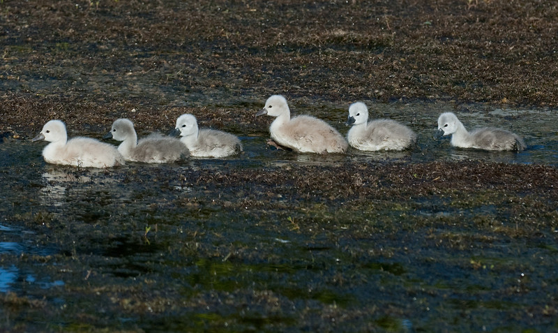 Mute Swan - Chicks going for a swim