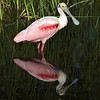 Roseate Spoonbill - Reflection