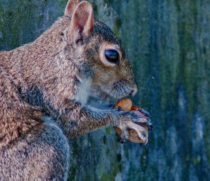 Eastern Gray eating peanuts