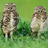 Adult Burrowing Owl with juvenile
