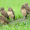 Juvenile Burrowing Owls near their nest