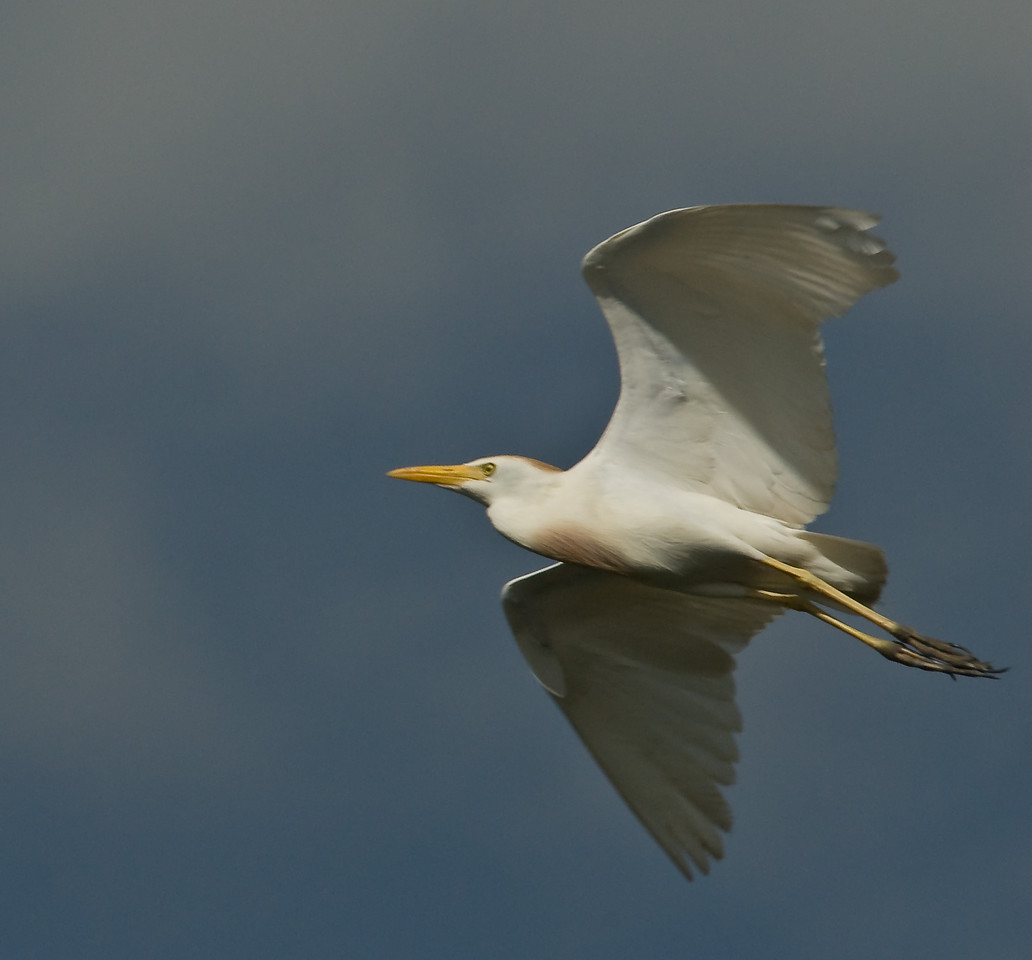 Cattle Egret - In flight