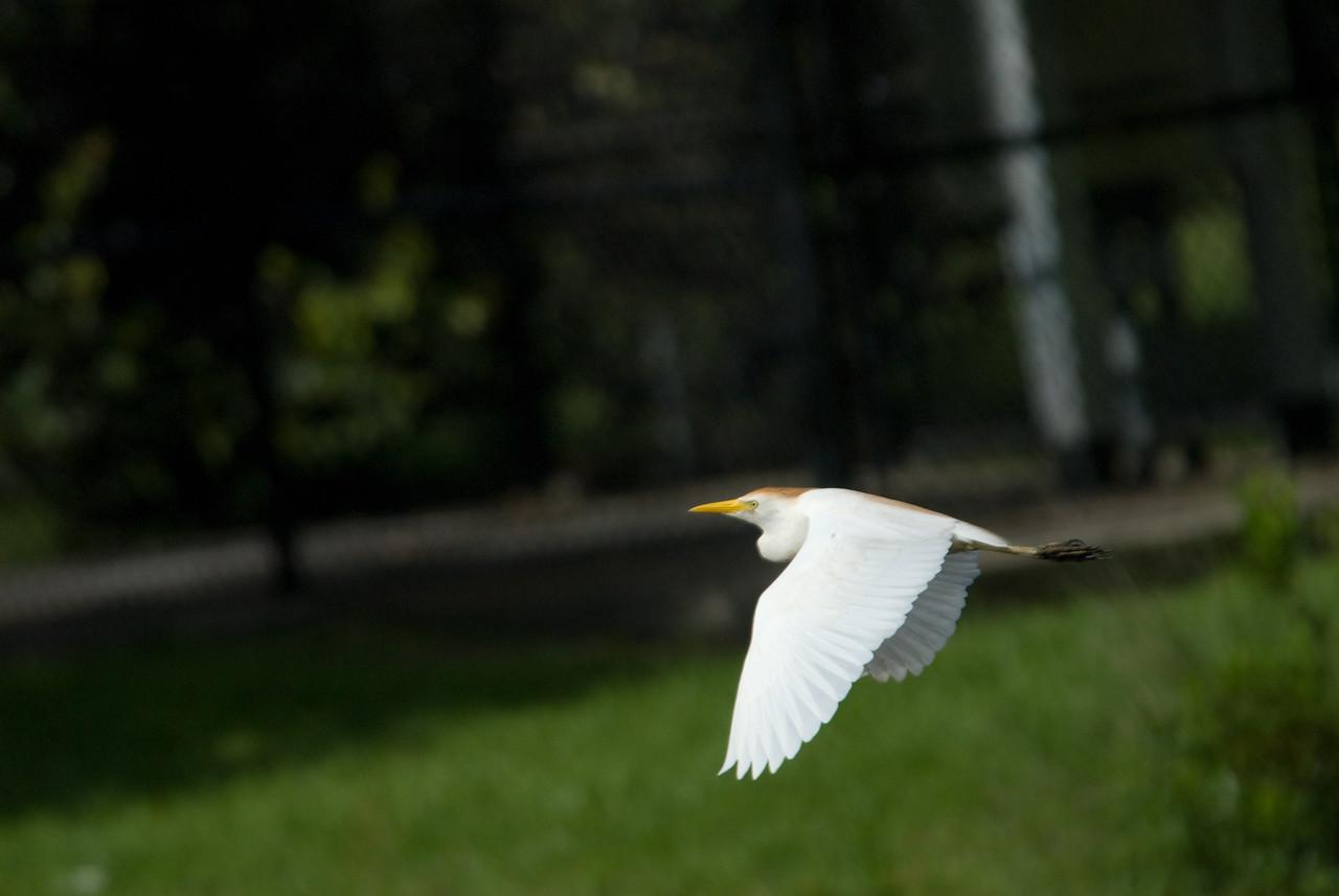Cattle Egret - In flight