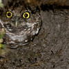 Burrowing Owl - Looking out of his hole in the dirt
