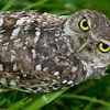 Burrowing Owl Sideways