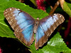 Morpho Banded Butterfly