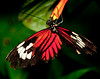 Heliconius Melpomene Madiera Butterfly