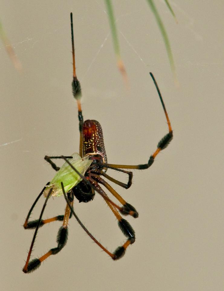 Golden-Silk Spider - Captured an Insect