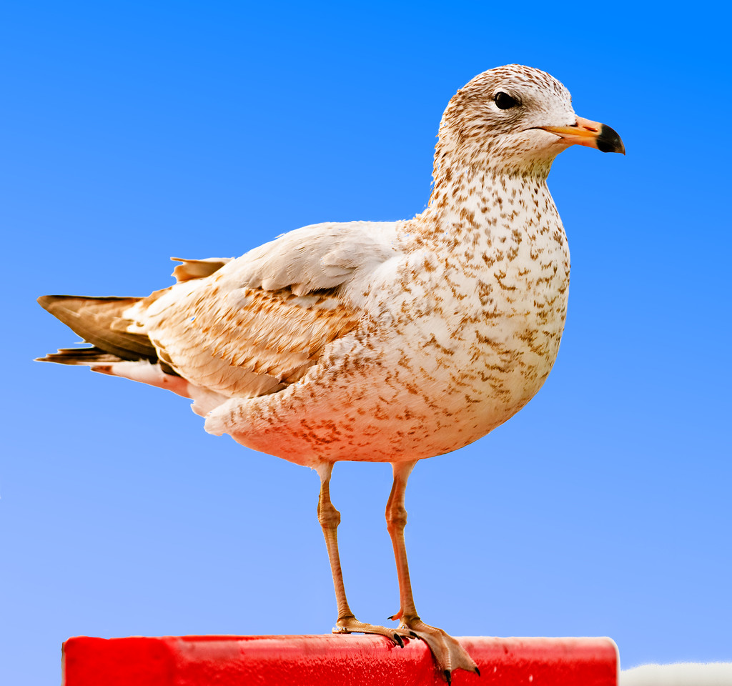 Great Black-backed Gull,