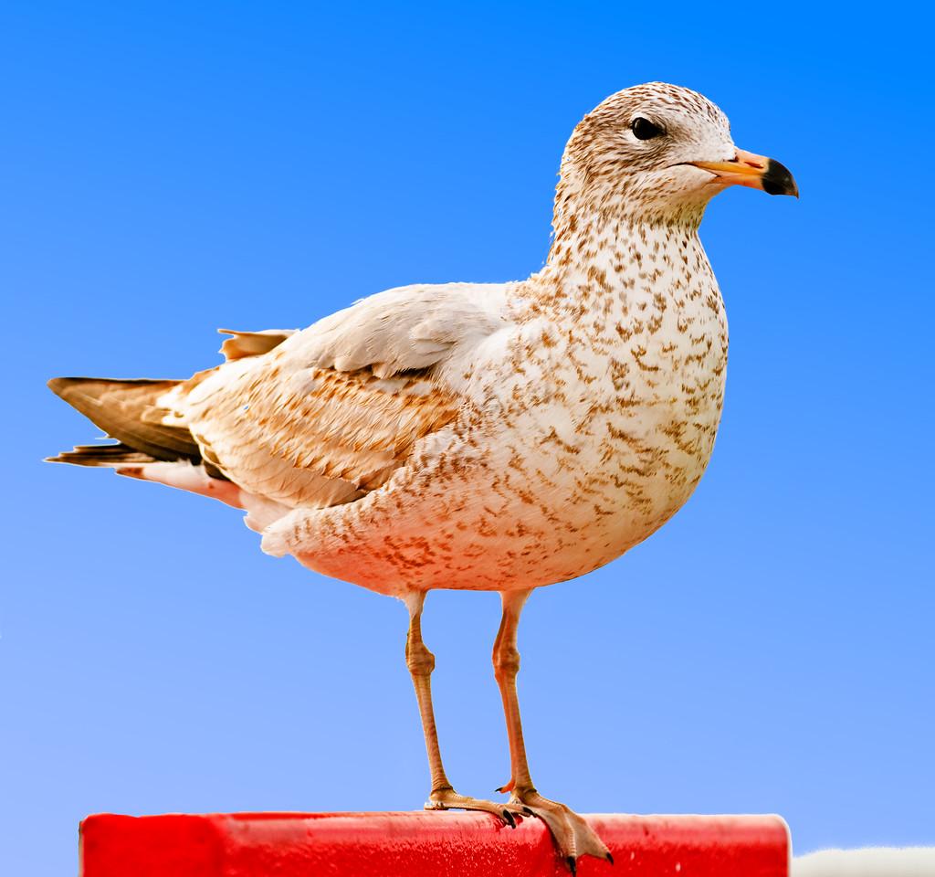 Great Black-backed Gull,