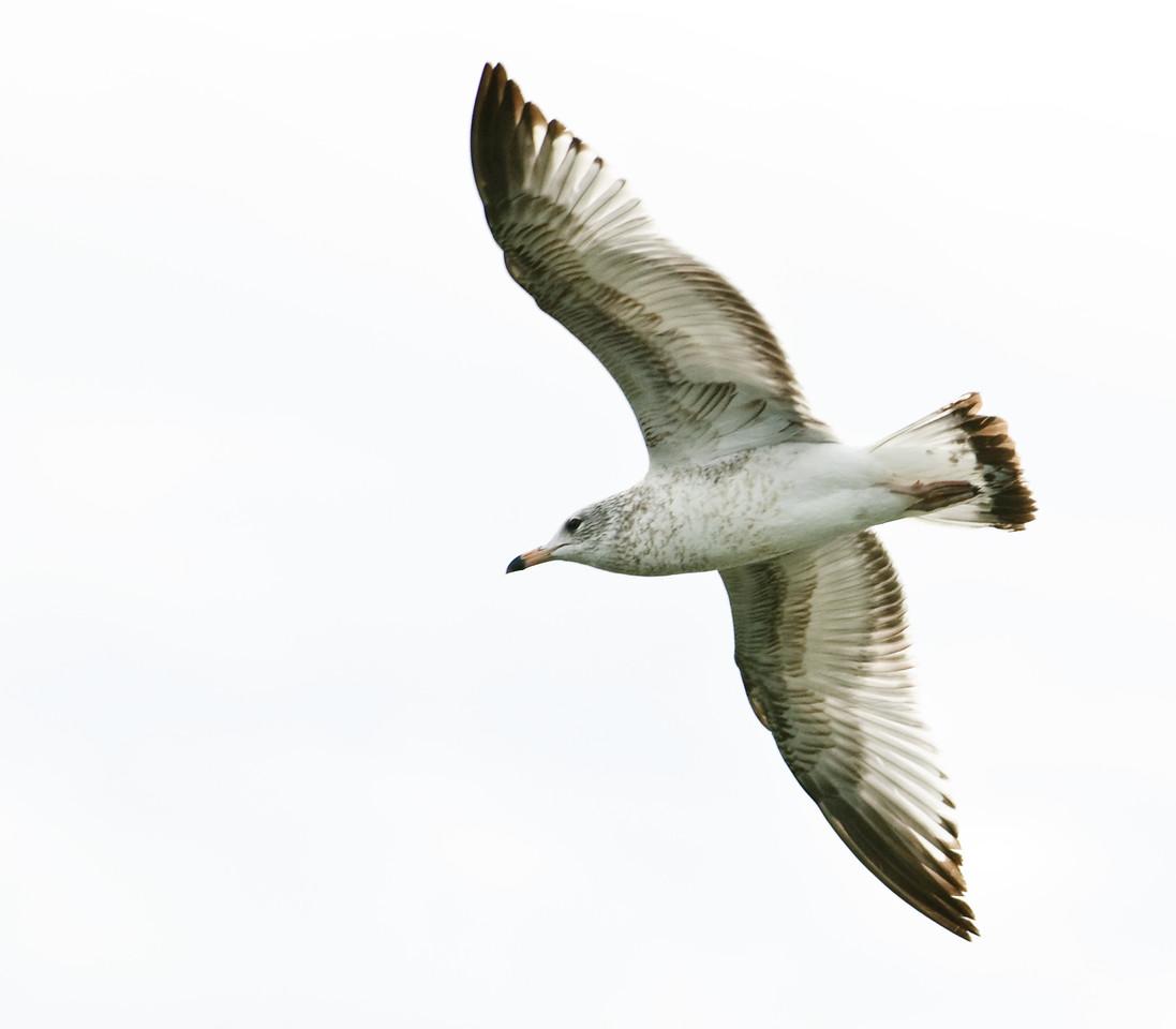 Great Black-backed Gull In Flight