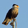 Crested Caracara that is tagged
