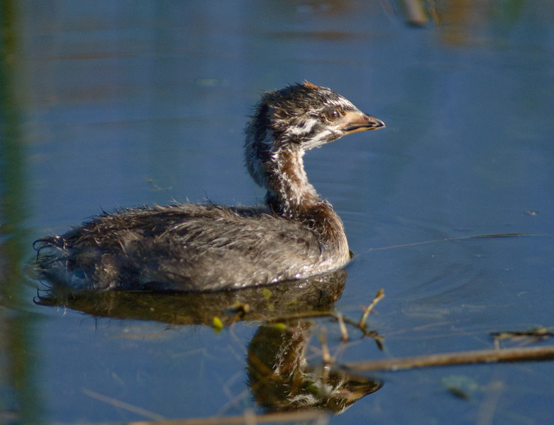 Pied-billed Grebe - Looking for mom