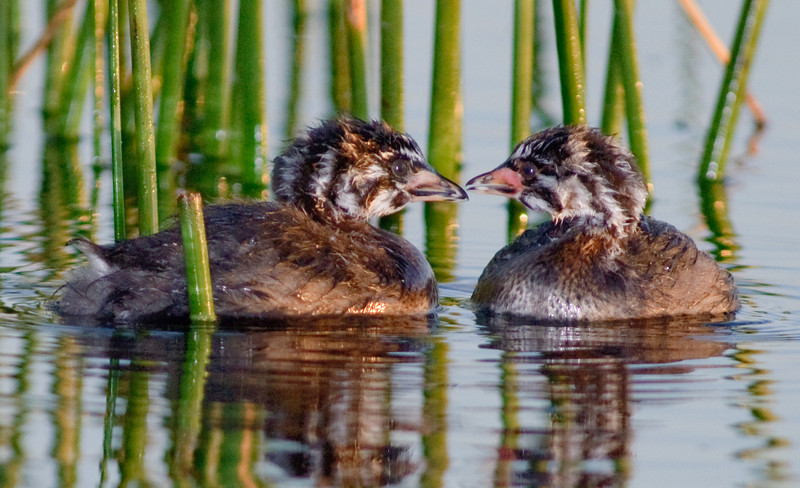 Pied-billed Grebe - Noise to Noise