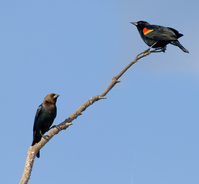 Brown-headed Cowbird on the bottom and Red-winged Black Bird on top