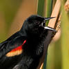 Red-winged Black Bird - I can see your tongue