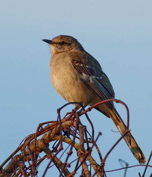 Northern Mockingbird - Early morning light
