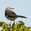 Northern Mockingbird - Who's back there?