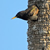 European Starling - Who's out there?