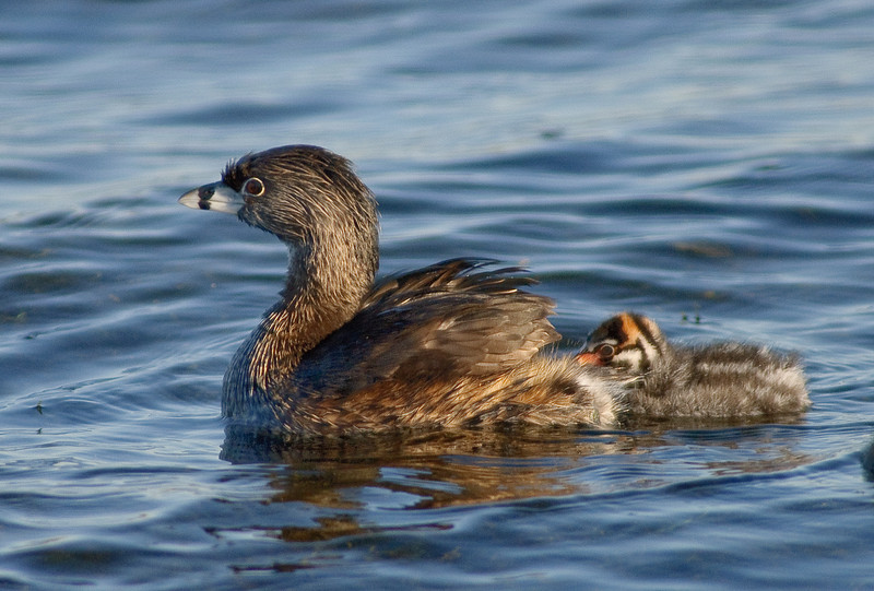 Pied-billed Grebe All aboard